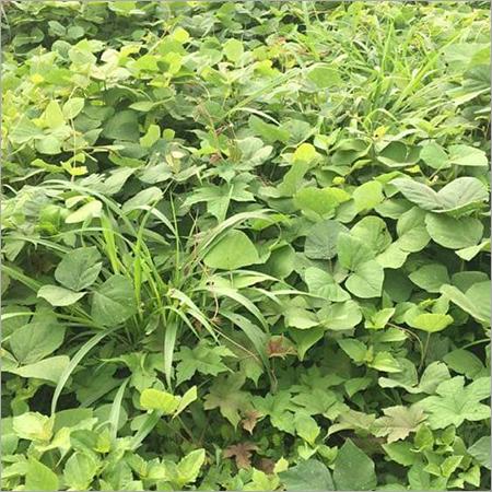 leguminous cover crops
