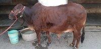 sahiwal cow in haryana