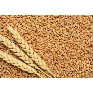 Indian Natural Wheat