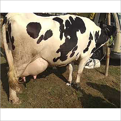 Pure HF Breed Cow