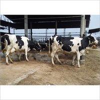 Farm HF Cow