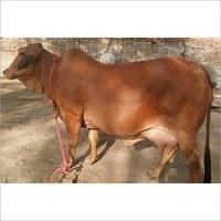 Dairy Rathi Cow