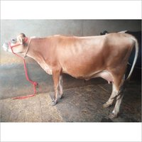 Pure Rathi Breed Cow
