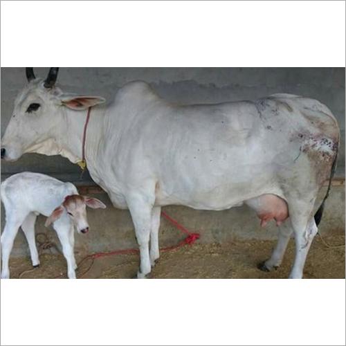 Tharparkar Cow With Calf