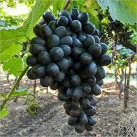 Black Fresh Grapes