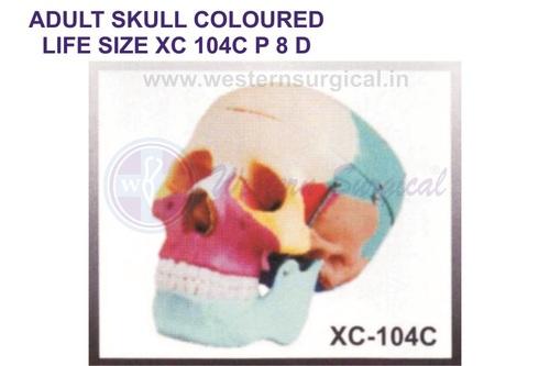 ADULT SKULL COLOURED LIFE SIZE XC 104c