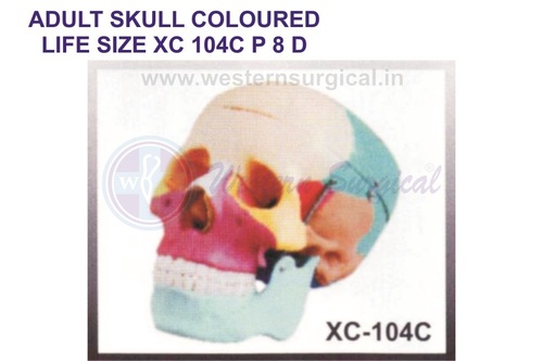 ADULT SKULL COLOURED LIFE SIZE XC 104c