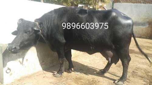 Murrah buffalo