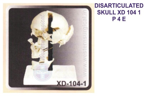 DISARTICULATED SKULL XD 104