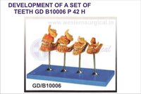 DEVELOPMENT OF A SET OF TEETH GD B10006
