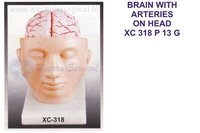BRAIN WITH ARTERIES ON HEAD XC 318