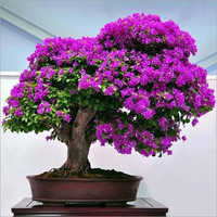 Bougainvilleas Saplings Plant