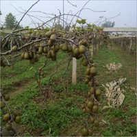 Green Kiwi Plant