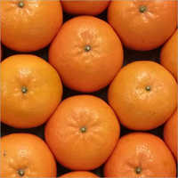 Kinnow Orange Plant