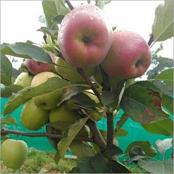 HRMN99 Apple Plant