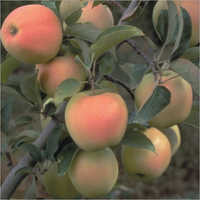 Dorset Golden Apple Plant