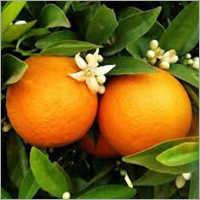 Malta Orange Plant