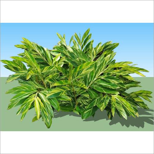 Alpinia Zerumbet Plant