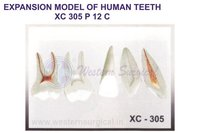 EXPANSION MODEL OF HUMAN TEETH XC 305