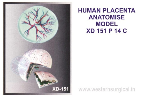 HUMAN PLACENTA ANATOMISE MODEL