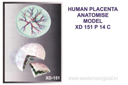 HUMAN PLACENTA ANATOMISE MODEL