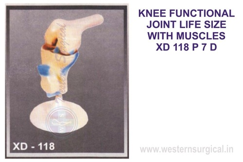 KNEE FUNCTIONAL JOINT LIFE SIZE WITH MUSCLES