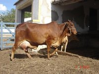 Karnal Pure Sahiwal Cow