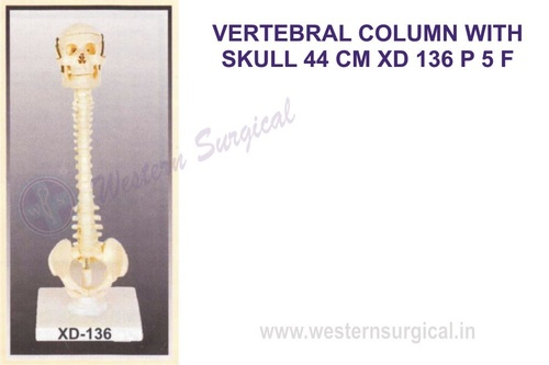 VERTEBRAL COLUMN WITH SKULL