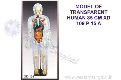 MODEL OF TRANSPARENT HUMAN