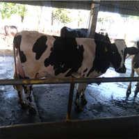 Pure Quality HF Cow