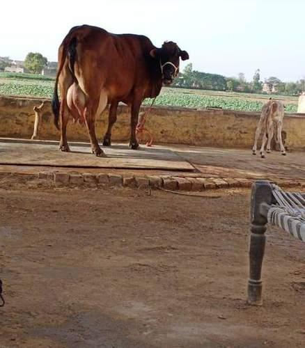 Rathi Cow