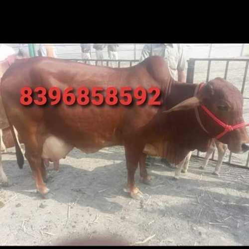 Top sahiwal cow