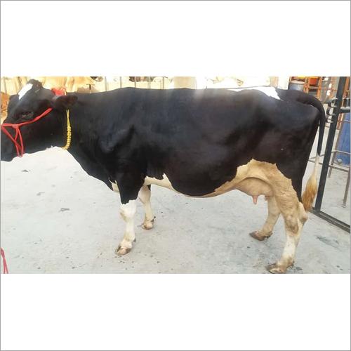 Top Hf cow