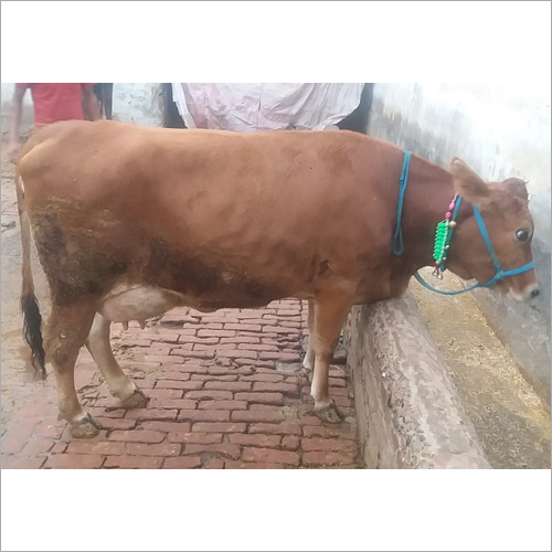 Top sahiwal cow