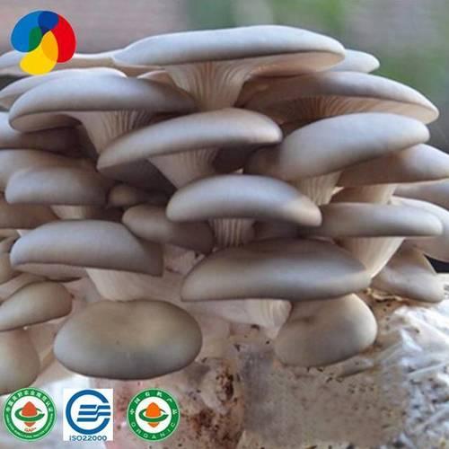 Qihe Cultivated High Quality Oyster Mushroom Spawn Bags