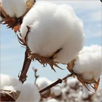 Cotton Fibre