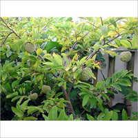 Custard Apple (sitafal) Plant (super Golden)