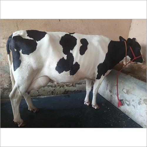 Desi HF Cow