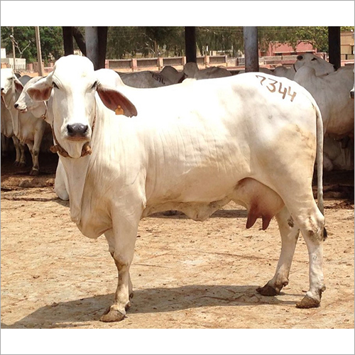 High Yield Tharparkar Cow