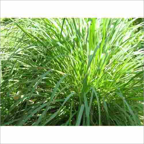 Lemongrass Citronella Grass