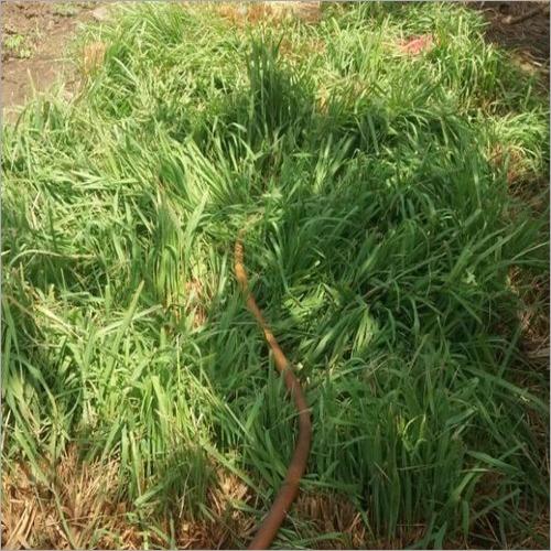 Fresh Dried Lemongrass Leaves