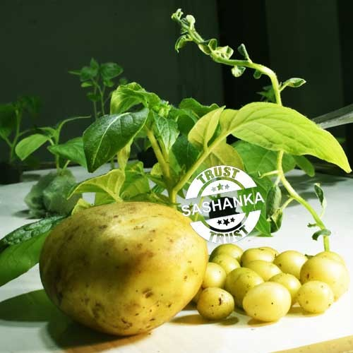 Potato Mini Seed  Tubers