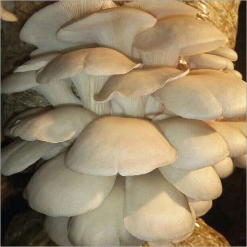 Pleurotus Florida Oyster Mushroom