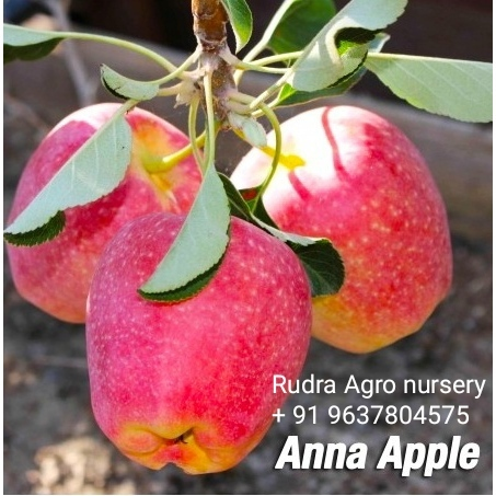 Anna Apple Plant