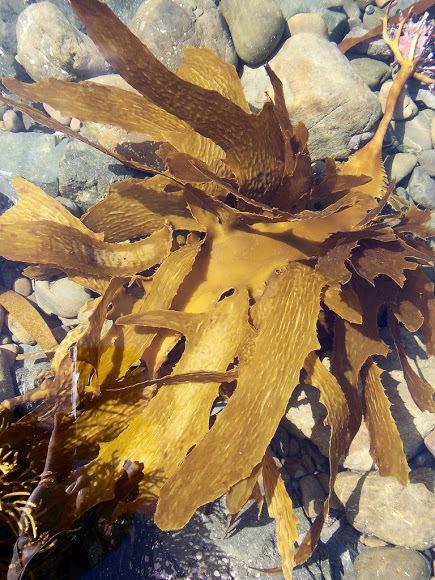 Seaweed biostimulants