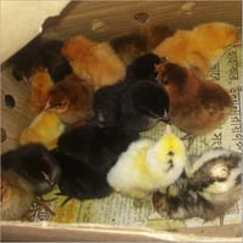 Hen Chick