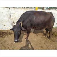 Murrah Black Buffalo