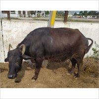 High Milking Murrah Buffalo