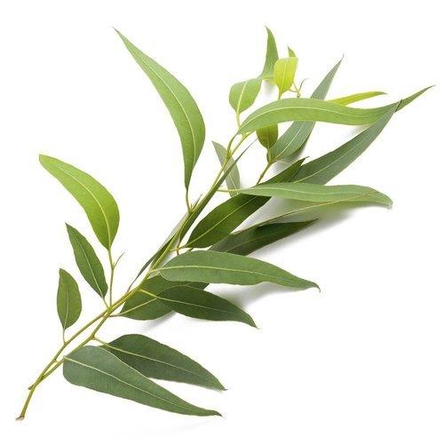 Eucalyptus Flavour
