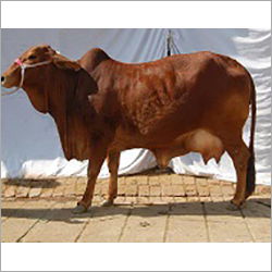 Pure Sindhi Cow
